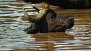 Buffalo&Oxpecker